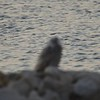 """Snowy Owl <br>  South boat ramp Lincoln Shields <br> Riverlands Migratory Bird Sanctuary <br>  <span class=""""noShowSmart""""> <a href=""""/MyKeywords/Bird-Videos/n-gF9bt/i-sgpVFs4/A""""> <span style=""""color:yellow"""">Click here to open video in lightbox/full screen</span></a> </span>  <span class=""""noShowGallery""""> <a href=""""/Birds/2017-Birding/Birding-2017-December/2017-12-20-Riverlands-Migratory-Bird-Sanctuary/i-sgpVFs4/A""""> <span style=""""color:yellow"""">Click here to open video in lightbox/full screen</span></a> </span>"""