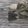 """Harlequin Duck (female)  <br> Sail Boat Harbor  <br> Dam West Marina <br> Carlyle Lake, Clinton County, Illinois <br> 2017-07-24 11:36:12 <br>  <span class=""""noShowSmart""""> <a href=""""/MyKeywords/Bird-Videos/n-gF9bt/i-xXvGT5F/A""""> <span style=""""color:yellow"""">Click here to open video in lightbox/full screen</span></a> </span>  <span class=""""noShowGallery""""> <a href=""""/Birds/2017-Birding/Birding-2017-December/2017-12-22-Carylye-Lake/i-xXvGT5F/A""""> <span style=""""color:yellow"""">Click here to open video in lightbox/full screen</span></a> </span>"""