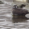 Harlequin Duck (female) <br /> Sail Boat Harbor <br /> Dam West Marina <br /> Carlyle Lake, Clinton County, Illinois