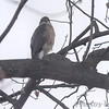 Cooper's Hawk <br /> Bridgeton, MO <br /> 2017-12-18