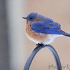 Eastern Bluebird <br /> Bridgeton, MO <br /> 2017-12-24