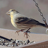 House Finch <br /> Never seen one this yellow <br /> Bridgeton, MO  <br /> 2017-12-11