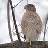 Cooper's Hawk <br /> Bridgeton, MO <br /> 2017-12-26