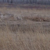 Whitetail Deer <br /> Two Pecan Trail <br /> Riverlands Migratory Bird Sanctuary