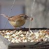 Carolina Wren <br /> Bridgeton, Mo <br /> 2017-02-02