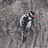 Hairy Woodpecker <br /> (notice split of red)<br /> Bridgeton, MO <br /> 2017-02-08