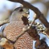 Cooper's Hawk <br /> Bridgeton, Mo <br /> 2017-02-12