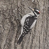 Hairy Woodpecker <br /> Bridgeton, MO <br /> 2017-02-08