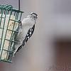 Downy Woodpecker <br /> Bridgeton, Mo <br /> 2017-02-14