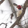 Red-headed Woodpecker <br /> Bridgeton, Mo <br /> 2017-02-14