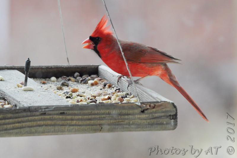 Northern Cardinal <br /> Bridgeton, MO <br /> 2017-02-08