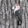 Red-bellied Woodpecker <br /> Bridgeton, MO <br /> 2017-02-08