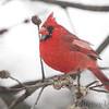 Northern Cardinal <br /> Bridgeton, MO<br /> 2017-02-08