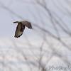 Rough-legged Hawk <br /> Adair County<br /> Missouri