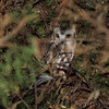 Northern Saw‑whet Owl <br /> Knox County, Missouri <br /> 2017-01-01<br /> <br /> No. 347 on my Lifetime List of Bird Species <br /> Photographed in Missouri