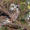 Northern Saw‑whet Owl <br /> Knox County, Missouri