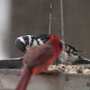 Hairy Woodpecker and Northern Cardinal <br /> Bridgeton, MO <br /> 1/03/17
