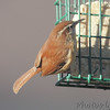 Carolina Wren <br /> Bridgeton, MO <br /> 1/04/17