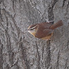 Carolina Wren <br /> Bridgeton, Mo <br /> 2017-01-04