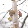 American Goldfinches, House Finches and Eurasian Tree Sparrow <br /> Bridgeton, MO <br /> 1/03/17