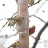American Goldfinches and House Finches <br /> Bridgeton, MO <br /> 1/03/17