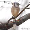 Blue Jay <br /> Bridgeton, MO <br /> 1/03/17