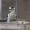 Hairy Woodpecker <br /> Bridgeton, MO <br /> 1/03/17