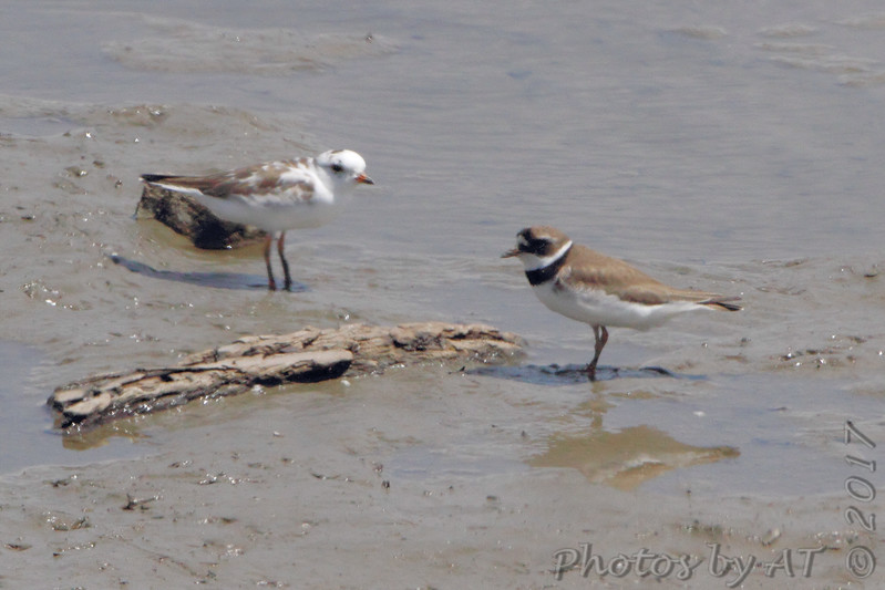 Semipalmated Plover (leucistic) <br /> and normal Semipalmated Plover <br /> (shot out van window)<br /> Ellis Bay <br /> Riverlands Migratory Bird Sanctuary