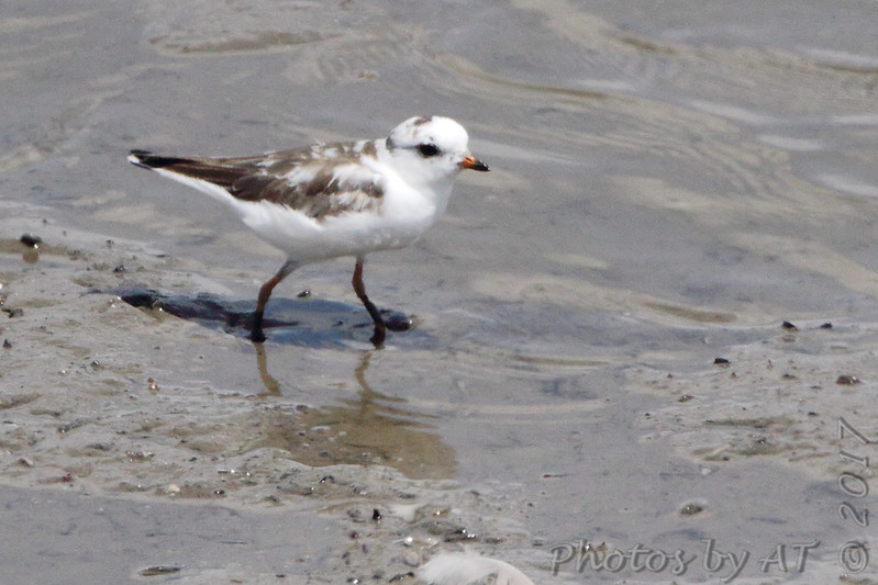 Semipalmated Plover (leucistic)  <br /> (shot out van window)<br /> Ellis Bay <br /> Riverlands Migratory Bird Sanctuary