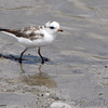 Semipalmated Plover (leucistic)  <br /> (shot out van window)<br /> Ellis Bay <br /> Riverlands Migratory Bird Sanctuary