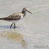 Pectoral Sandpiper <br /> Ellis Bay <br /> Riverlands Migratory Bird Sanctuary