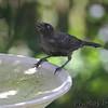 Common Grackle (juvenile)<br /> Bridgeton, Mo <br /> 2017-07-24