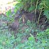 Common Grackles (juveniles)<br /> Bridgeton, Mo <br /> 2017-07-24
