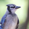 Blue Jay (juvenile) <br /> (recently fledged, notice fleshy gape)<br /> Bridgeton, Mo <br /> 2017-07-24