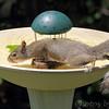 Squirrel <br /> Bridgeton, Mo<br /> 2017-07-23
