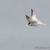 Least Tern <br /> Fishing in Ellis Bay <br /> Riverlands Migratory Bird Sanctuary