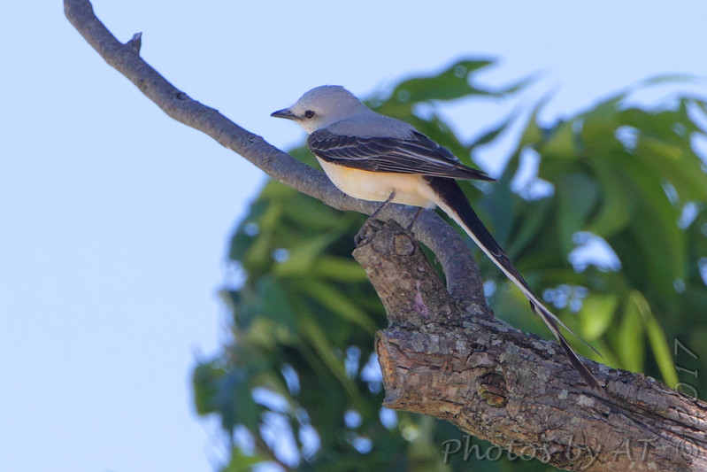Scissor-tailed Flycatcher <br /> Darst Bottom Road <br /> St. Charles County
