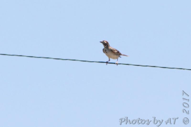 Lark Sparrow <br /> Darst Bottom Road <br /> St. Charles County