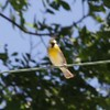 Dickcissel <br /> Darst Bottom Road <br /> St. Charles County