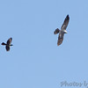 Mississippi Kite harassed by Common Grackle <br /> Clarence Cannon National Wildlife Refuge