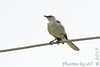 Northern Mockingbird <br /> In front of church  <br /> Hazelwood Logistics Center Dr. <br /> Hazelwood, MO <br /> Map No. 6