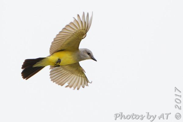 2017-06-22 Hazelwood and Bridgeton Western Kingbirds