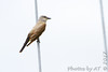 Western Kingbird <br /> Pole in front of church <br /> Hazelwood Logistics Center Dr. <br /> Hazelwood, MO <br /> Map No. 6
