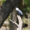 """Belted Kingfisher  <br> Boardwalk slough <br> Columbia Bottom Conservation Area <br> 2017-06-27  <br> <span class=""""noShowSmart""""> <a href=""""/MyKeywords/Bird-Videos/n-gF9bt/i-6VKt8DW/A""""> <span style=""""color:yellow"""">Click here to open video in lightbox/full screen</span></a> </span>  <span class=""""noShowGallery""""> <a href=""""/Birds/2017-Birding/Birding-2017-June/2017-06-27-Hazelwood-WEKI-and-Columbia-Bottom-CA/i-6VKt8DW/A""""> <span style=""""color:yellow"""">Click here to open video in lightbox/full screen</span></a> </span>"""