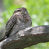 Common Nighthawk <br /> West side of First Missionary Baptist Church <br /> Hazelwood Logistics Center Dr. <br /> 0.4 miles from N Lindbergh Blvd<br /> Hazelwood, MO