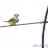 Western Kingbird <br /> Hollywood Casino <br /> Maryland Heights, MO