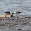 Baird's Sandpiper <br /> and Pectoral Sandpiper <br /> Lincoln Shields Area <br /> Riverlands Migratory Bird Sanctuary