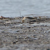 Baird's Sandpiper <br /> Lincoln Shields Area <br /> Riverlands Migratory Bird Sanctuary