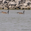 Canada Geese  <br /> Teal Pond <br /> Riverlands Migratory Bird Sanctuary