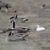 Canada Geese and Snow Goose <br /> Teal Pond <br /> Riverlands Migratory Bird Sanctuary